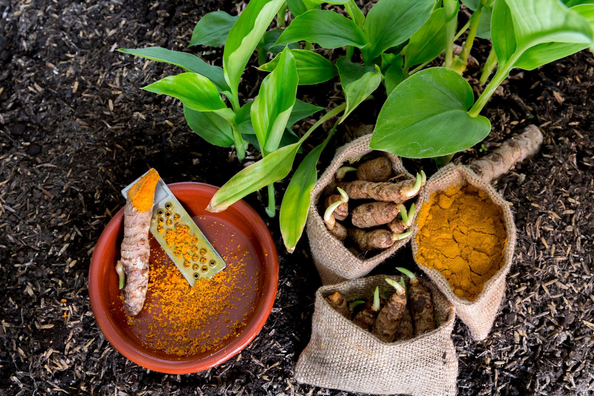 Le jardin des parfums et des épices culture du curcuma traditionnel